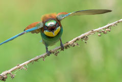 Bee-eater spreading wings Stock Photo