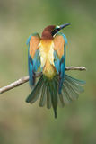 Bee-eater spreading wings Stock Images