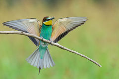 Bee-eater spreading wings Royalty Free Stock Photos