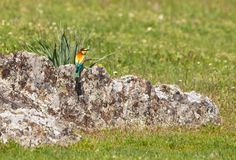Bee-eater in spring Stock Image