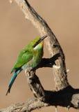 Bee-eater Swallow-tailed Imagen de archivo libre de regalías