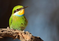 Bee-eater Swallow-tailed Foto de archivo