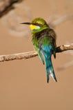 Bee-eater Swallow-tailed Imágenes de archivo libres de regalías