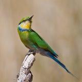 Bee-eater Swallow-tailed Fotografía de archivo