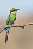 Bee-eater Swallow-tailed Fotografía de archivo libre de regalías