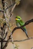 Bee-eater Swallow-tailed imagem de stock