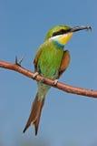 Bee-eater Swallow-tailed Fotos de archivo libres de regalías