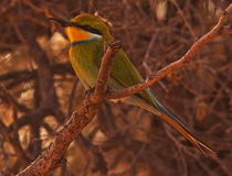 Bee-eater Swallow-tailed Fotos de archivo libres de regalías
