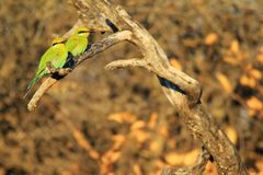 Bee-eater, Swallow-tailed - African Wild Bird Background - Colorful Pair royalty free stock image