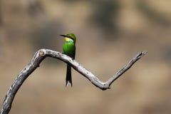 Bee-Eater Swallow-Tailed (hirundineus del Merops) Foto de archivo