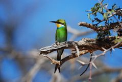 Bee-Eater Swallow-Tailed (hirundineus del Merops) Imagenes de archivo