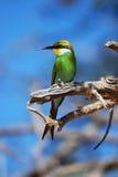 Bee-Eater Swallow-Tailed (hirundineus del Merops) Fotografía de archivo libre de regalías