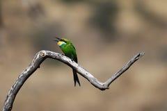 Bee-Eater Swallow-Tailed (hirundineus do Merops) imagem de stock royalty free