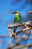 Bee-Eater Swallow-Tailed (hirundineus do Merops) fotografia de stock royalty free