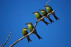 Bee-Eater Swallow-Tailed (hirundineus do Merops) fotografia de stock