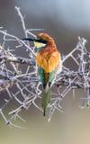 Bee eater on thorn bush Stock Photo