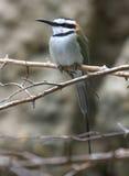 Bee-Eater Throated blanco Fotos de archivo