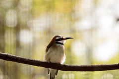 Bee-Eater Throated blanco Imágenes de archivo libres de regalías