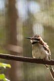 Bee-Eater Throated blanco Imagen de archivo libre de regalías