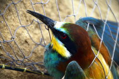 Bee-eater in a trap Royalty Free Stock Photos