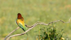 Bee-eater on tree branch stock video footage