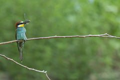 Bee eater on the tree isolated on green Stock Photos