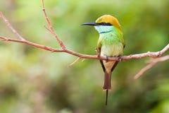 Bee-eater verde Fotografía de archivo