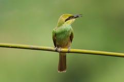 Bee-eater verde Imagem de Stock