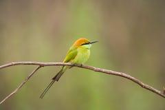 Bee-eater verde Fotos de Stock
