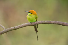Bee-eater verde Fotografia de Stock Royalty Free