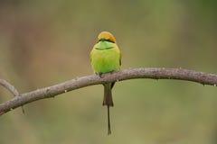 Bee-eater verde Imagem de Stock Royalty Free