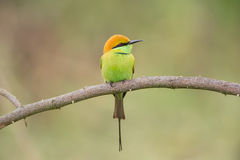 Bee-eater verde Fotografia de Stock