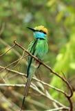 Bee-eater verde Foto de archivo libre de regalías