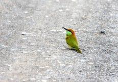 Bee-eater verde Imagenes de archivo