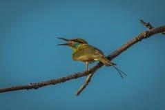 Bee-eater verde Foto de archivo