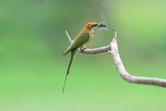 Bee-eater verde con la presa Imagen de archivo libre de regalías