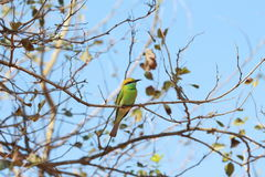 Bee-Eater verde (orientalis del Merops) Fotos de archivo libres de regalías