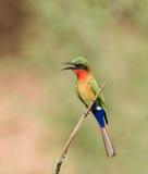 Bee-eater Vermelho-throated perto de Simenti Fotos de Stock