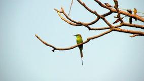 Bee-eater vert Images stock