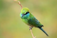 Bee-eater vert Photos stock
