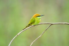 Bee-eater vert Images libres de droits