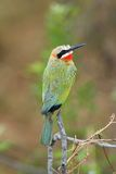 Bee-Eater White-Fronted Image stock