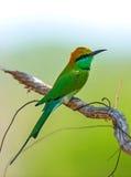 Bee-eater Royalty Free Stock Photos