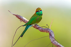 Bee-eater Royalty Free Stock Image