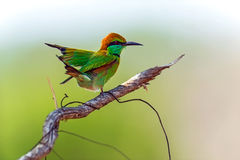 Bee-eater. In the wild on the island of Sri Lanka Royalty Free Stock Photography