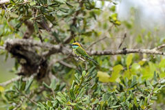 Bee-eater Stock Image