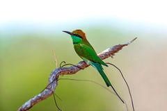 Bee-eater in the wild Stock Images