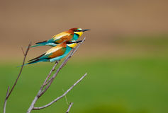 Bee eaters Stock Photography