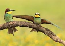 Bee-eaters Fotografía de archivo libre de regalías