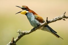 Bee-eaters Royalty Free Stock Image